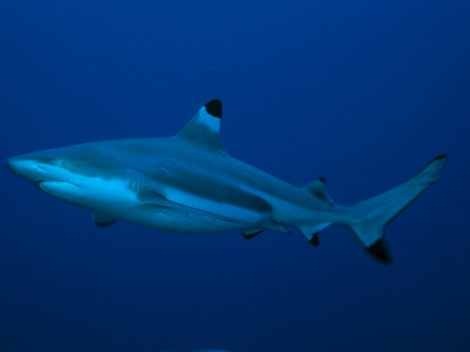 """Blacktip reef sharks are common to Hawaii's coastlines, and so are classified as """"inshore sharks."""" They are not endangered. Photograph by David Doubilet, National Geographic"""