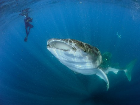 Despite their size, whale sharks like this one (another offshore species) actually pose very, very few threats to people. They are a vulnerable species. Photograph by Brian Skerry, National Geographic