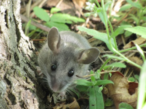 Those big doe eyes won't get you anywhere, deer mouse. You're a rodent and a delicacy to raptors, snakes, and science laboratories. Photograph by Seney Natural History Association, courtesy Wikimedia. This file is licensed under the Creative Commons Attribution-Share Alike 2.0 Generic license.