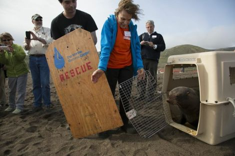 You're free little seal! Oceanographer and Explorer-in-Residence Sylvia Earle releases a Guadalupe fur seal. Photograph by Anand Varma