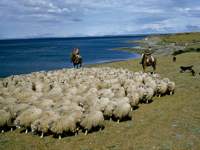 Chilean herders keep track of their sheep near the Strait of Magellan, at the far tip of South America. Photograph by Volkmar K. Wentzel, National Geographic