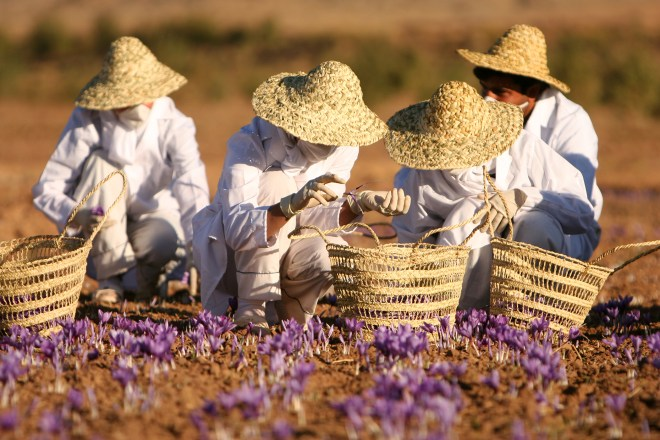 This spectacular image captures workers harvesting saffron in Torbat-e Heydarieh, Razavi Khorasan Province, Iran. Iran is one of the leading producers of saffron, a spice that must be extracted from the pistils of crocus flowers. Photograph by Safa Daneshvar, courtesy Wikimedia. This file is licensed under the Creative Commons Attribution-Share Alike 3.0 Unported license.