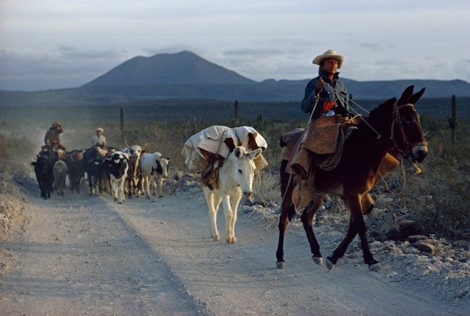 A modern vaquero leads his heard of cattle through the deserts of Baja California, Mexico. Photograph by Michael E. Long, National Geographic