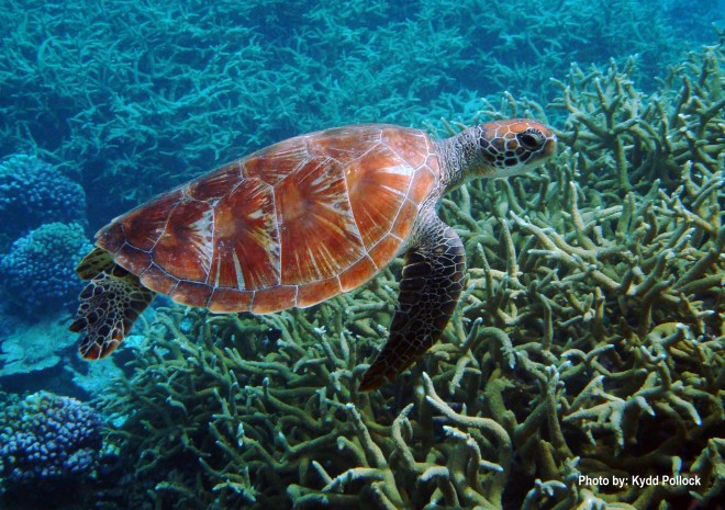 Green sea turtles are native to the expanded national monument. Photograph by Kydd Pollock, courtesy U.S. Fish and Wildlife Service.  This file is licensed under the Creative Commons Attribution 2.0 Generic license.