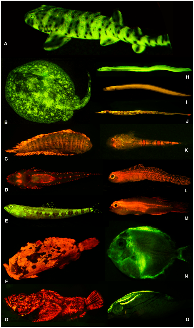 These are just some of the fishes whose fluorescent glow was exposed by David Gruber, his colleagues, and some fancy filtering on their cameras. Click here for the PLOS ONE article. A: swell shark, B: ray, C: sole, D: flathead, E: lizardfish, F: frogfish, G: false stonefish, H: false moray eel, I: false moray eel, J: pipefish, K: sand stargazer, L: goby, M: goby, N: surgeonfish, O: threadfin bream. CC BY 4.0, Copyright: © 2014 Sparks et al.