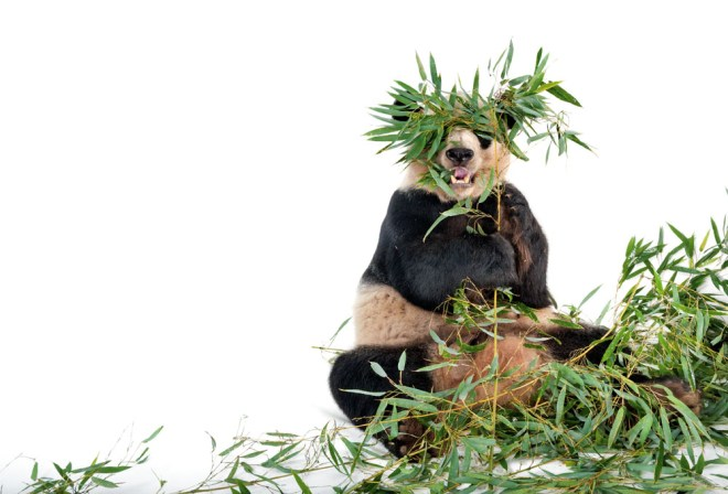 Peek-a-boo panda! Obviously terrible at camouflage, Ailuropoda melanoleuca have become a symbol of endangered species worldwide. Photograph by Joel Sartore, National Geographic