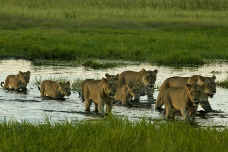 Group of lioness, photo courtesy of Beverly Joubert.