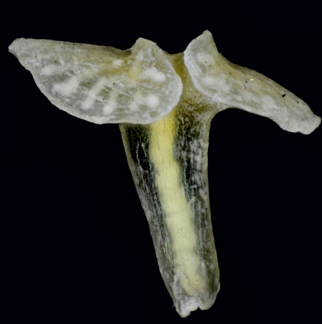 "The so-called ""X-phyla"" are multicellular animals that look like mushrooms, with a mouth at the end of the ""stem"" and a flattened disc at the other end. Photograph by Jørgen Olesen"