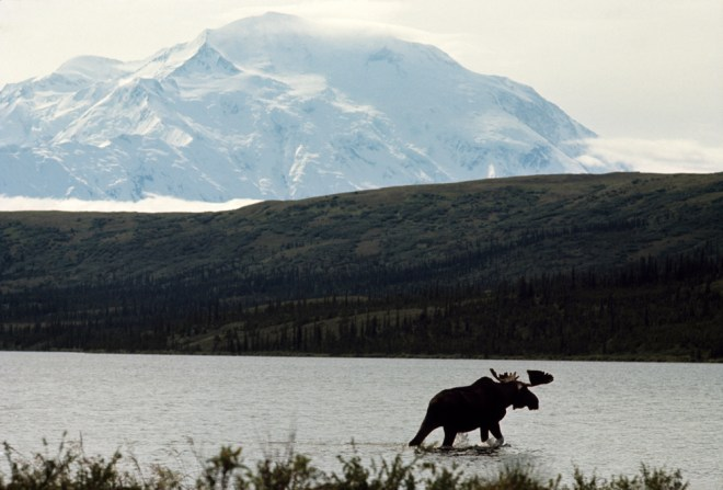 Denali looms over the landscape—and a healthy bull moose—in this 1966 image. Photograph by Melville B. Grosvenor, National Geographic