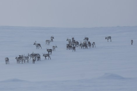 Halti may be uninhabited, but is definitely a major site for reindeer games—can you spot Rudolph? Check out other Scandinavian migration routes here. Photograph by Carsten Frenzi, courtesy Wikimedia. CC-BY-2.0
