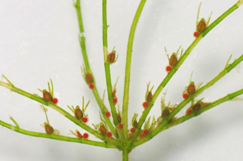 Delicate stonewort is not a land plant. It's actually a type of green algae found in muddy freshwater ecosystems such as estuaries and marshes. Photograph by Christian Fischer, courtesy Wikimedia. CC-BY-SA-3.0