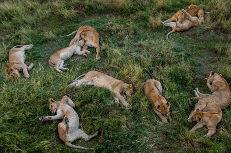 A pride of lion cubs takes a break in Serengeti National Park, Tanzania. Photograph by Michael Nichols, National Geographic