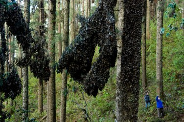 Monarchs are so plentiful in Mexico's Sierra Chincua sanctuary they coat tree trunks in what appears to be a thick, soft, black. Photograph by Joel Sartore, National Geographic