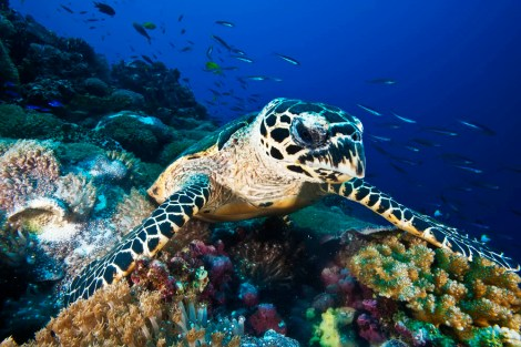 Behold the hawksbill sea turtle, whose razor-sharp beak can take chunks out of aquarium fixtures . . . and divers' bodies. Photograph by David Doubilet, National Geographic