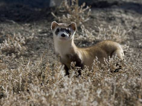"The black-footed ferret is considered to be the rarest mammal in North America. In 1988, the U.S. Fish & Wildlife Service developed the ""Black-footed Ferret Recovery Plan"" which emphasized species preservation through natural breeding, development of assisted reproductive technology, and the establishment of multiple reintroduction sites. Ferrets were released back into the wild in Wyoming in 1991, in South Dakota and Montana in 1994, and in Arizona in 1998. The Colorado reintroduction started in 2001. Photograph by Ryan Hagerty, U.S. Fish & Wildlife Service"