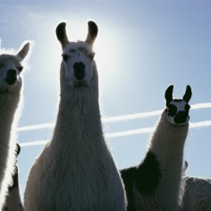 Llamas are domesticated camelids indigenous to Andean South America. Photograph by David Boyer, National Geographic