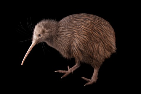 Nothing looks quite like New Zealand's iconic kiwi. This species, the North Island brown kiwi, is endangered. Photograph by Joel Sartore, National Geographic Photo Ark