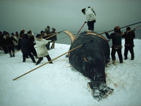 """Whaling has been a part of Arctic cultures for thousands of years. Even today, both the Saqqaq and Eskimo (above) are given an Aboriginal Subsistence Whaling quota by the International Whaling Commission. According to the most recent agreement, """"the number of bowhead whales struck from the West Greenland shall not exceed 2"""" through 2018. Photograph by Emory Kristoff, National Geographic"""