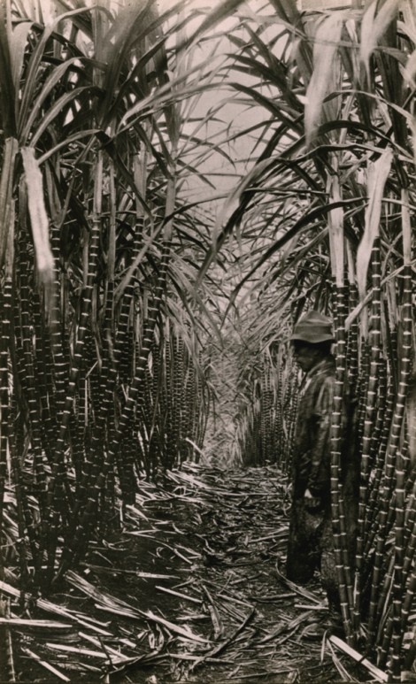 This 1916 photo depicts a vanished way of life—a Hawaiian sugar plantation. Photograph by A. Nielen, National Geographic. Public domain
