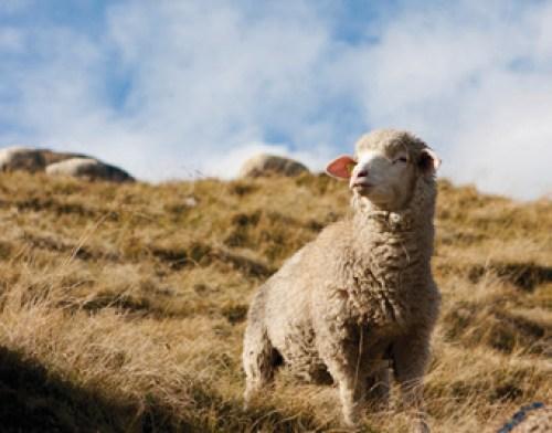 Mouton Swisswool