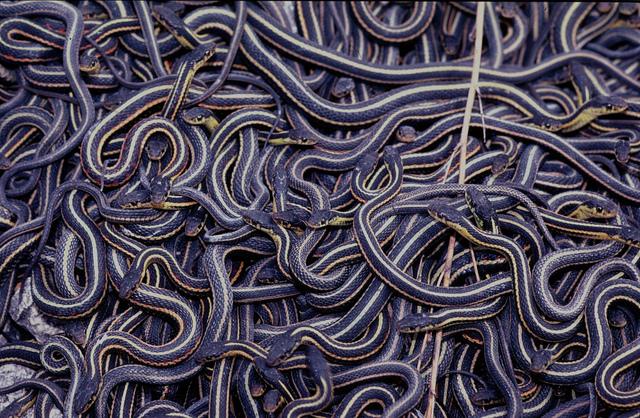 5. La serpiente Garter hace una orgía gigante con machos de dos penes.