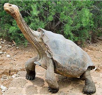 10. Las tortugas de Galápagos: virgen a los 40.