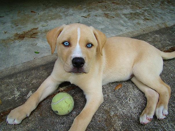 8. Labrador + Husky = Labsky