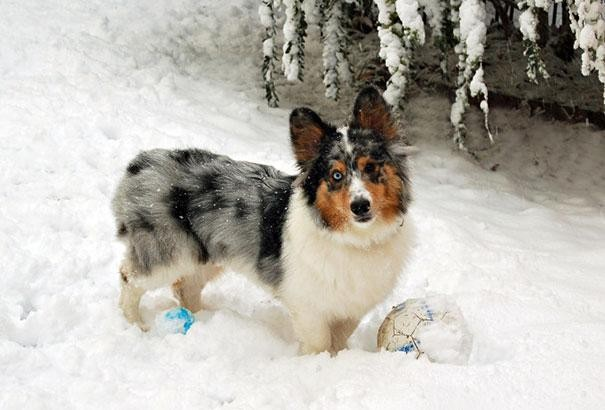 20. Corgi + Sheltie = Shorgi