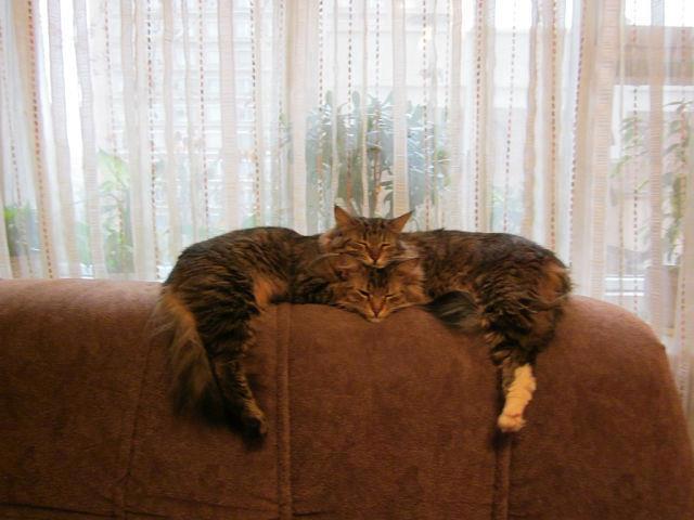 5. No, no es un gato gigante con dos cabezas.