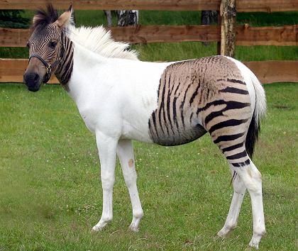 10. Pony, cebra, ¿o ambos?