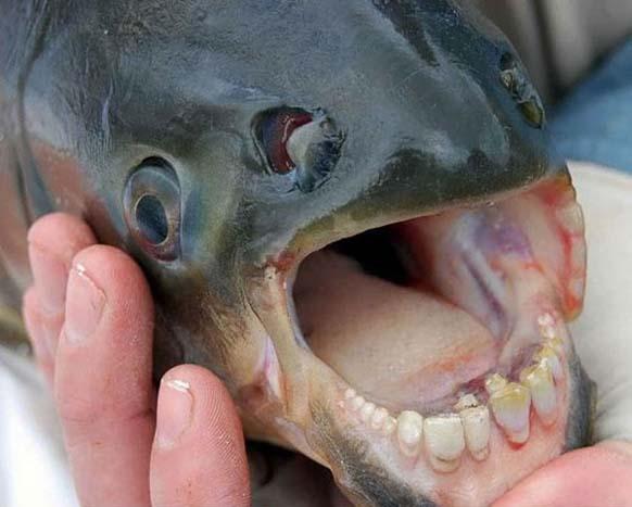 9. Pacú: con ese nombre se conocen varias especies de peces que viven en los ríos de Brasil, Argentina y Paraguay.