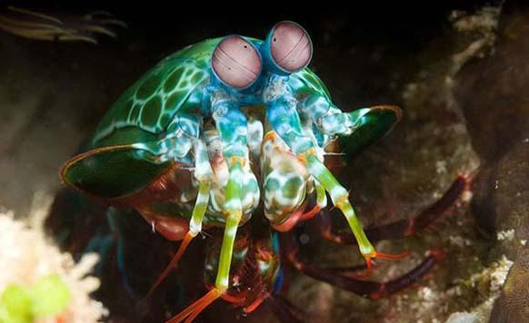 12. Mantis shrimp: habita en las aguas tropicales y es un excelente depredaddor.