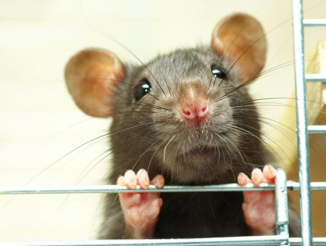 10. ¿Las ratas distinguen el japonés del holandés?