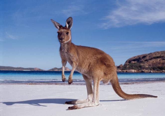 7. Los Holandeses descubrieron Australia 100 años antes que los ingléses, pero la ignoraron porque les pareció que era una solo otra isla desierta.