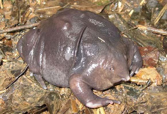 4. Rana púrpura: esta especie originaria de la India, solo pasa dos semanas al año en la superficie. Está en peligro de extinción.