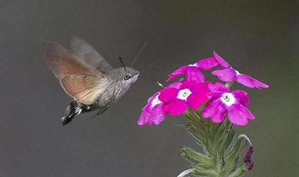 11. Polilla halcón: esta especie se confunde muy a menudo con los colibríes