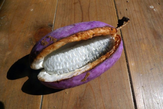 15. Akebia o fruta del chocolate