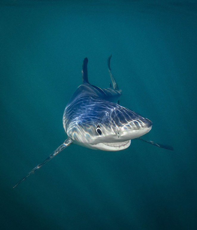 A Blue Shark Smiles For The Camera, Rhode Island By Tanya Houppermans