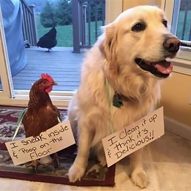 Funny-Chicken-Shaming-Farm-Life