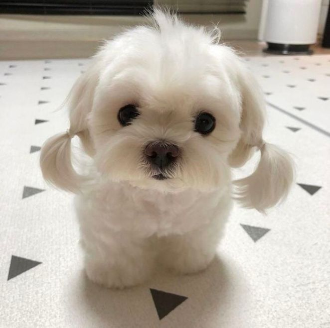 This Puppy With Pigtails