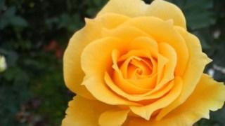 薔薇の魔法は何回受けてもいいのでしょうか?