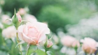 薔薇の魔法・願望別コース【ローズ・メビウス・プログラム】