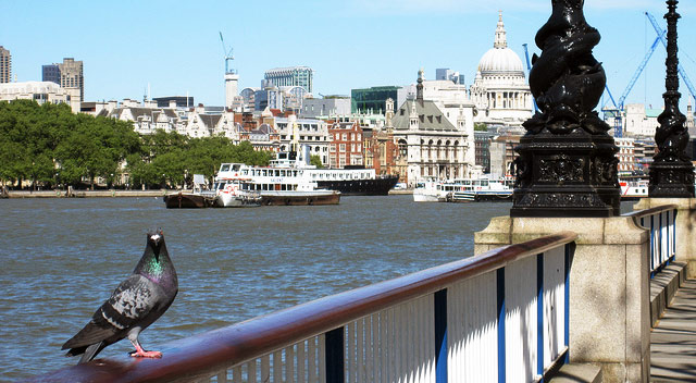London-pigeon