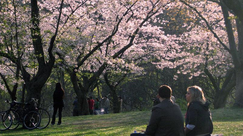 cherry-blossom-toronto