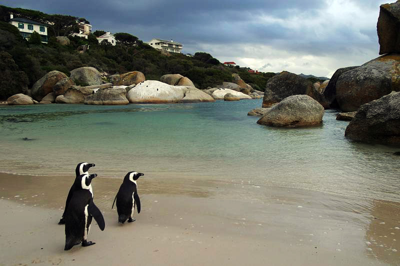 penguins Cape Town