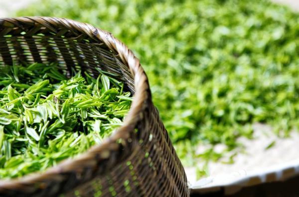 thé vert longévité