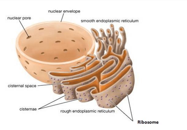 Endoplasmic Reticulum (Rough And Smooth) ER | Biology
