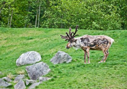 molting reindeer vg