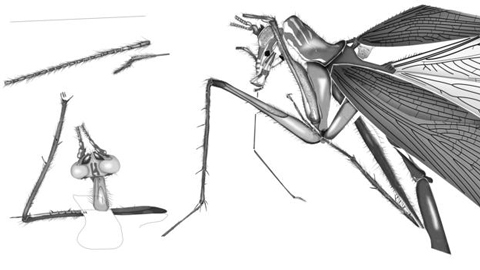 Potentially an ancestor of the extant Praying Mantis.