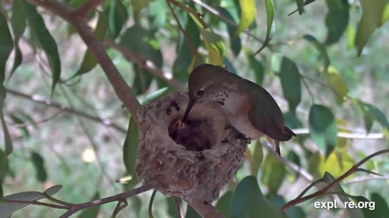 Alyssa Hummingbird Two Hatches April